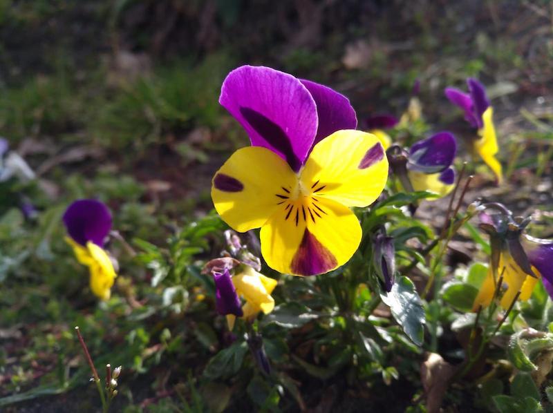 saison pour planter les pensées fleurs de saison septembre liste