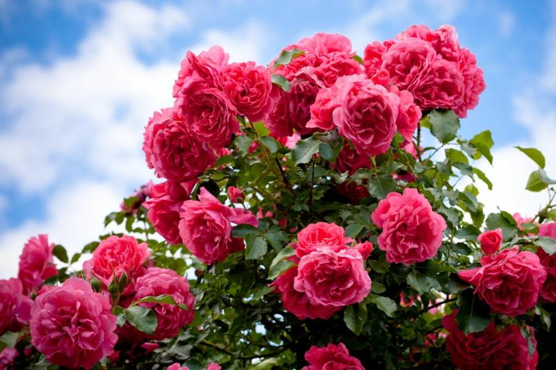 sel d epsom dans le jardinage un rosier rose et le ciel