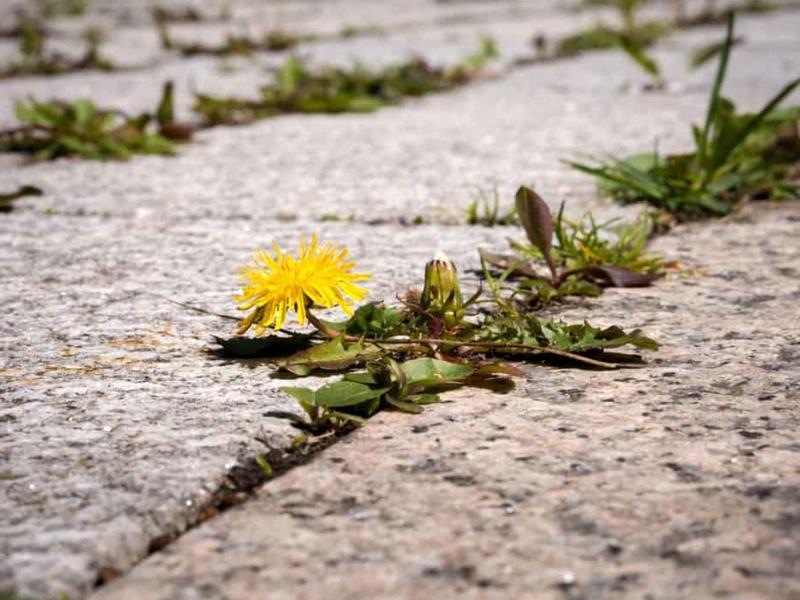 sel d epsom desherbant une mauvaise herbe entre les plaques