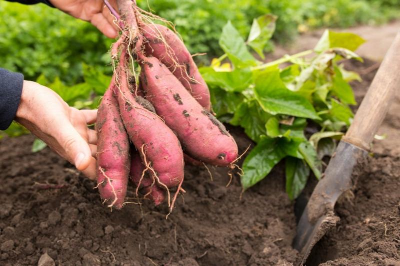 super aliments patates douces fraîchement sortis du sol
