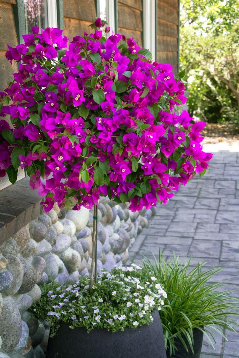 taille bougainvillier en pot de petites fleurs dans son sol