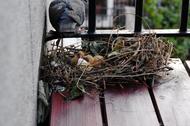 trucs pour éloigner les oiseaux un nid de pigeon sur le balcon