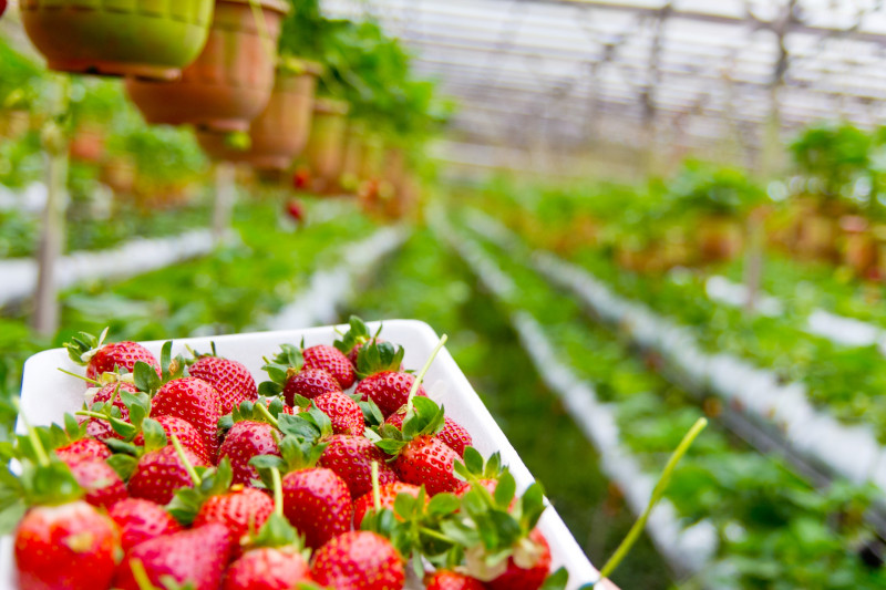 arrosage fraisier planter des faisiers en serre en pleine terre plante d exterieur