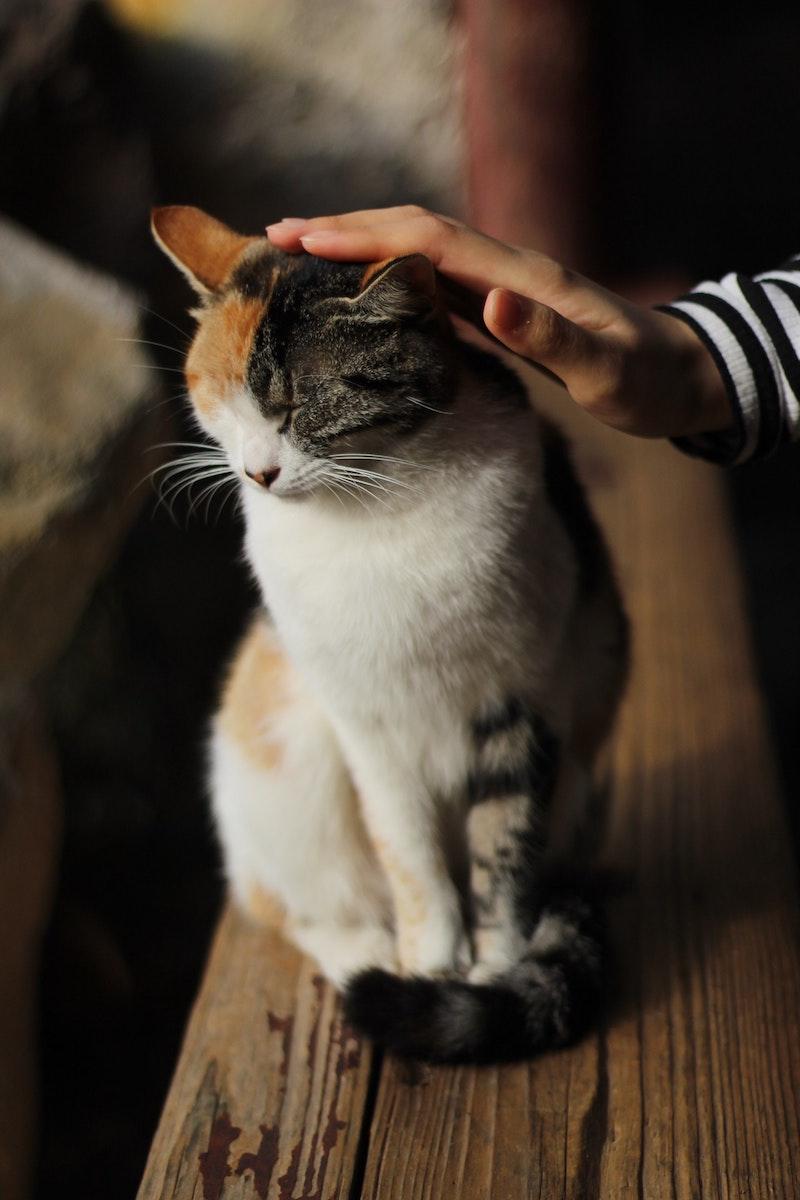 chat carresse qui ronronne mon chat ronronne raisons bonheur