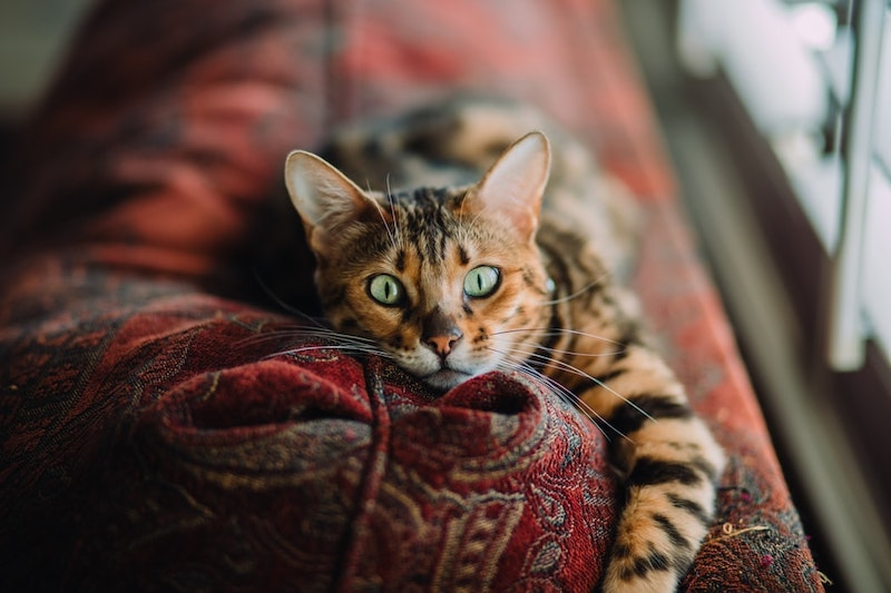 chat sur un canape rouge chat aux yeux verts