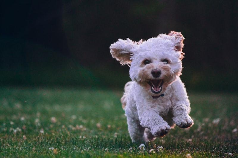 chien qui coure sur une pelouse verte