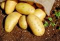 Comment conserver les pommes de terre – toute l'information nécessaire !
