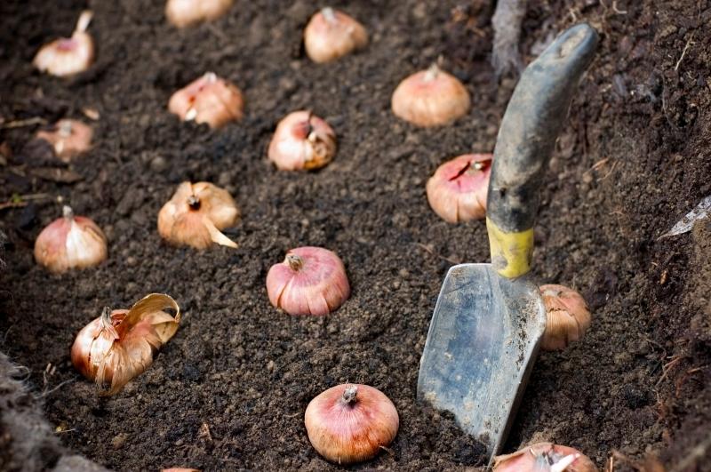 comment planter des bulbes racines vers le bas haut pointu