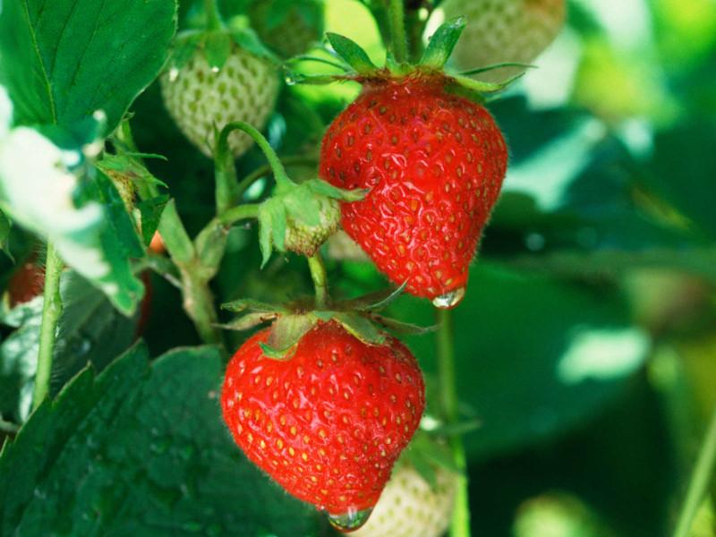comment planter des fraisiers et les soigner pour avoir de bons fruits
