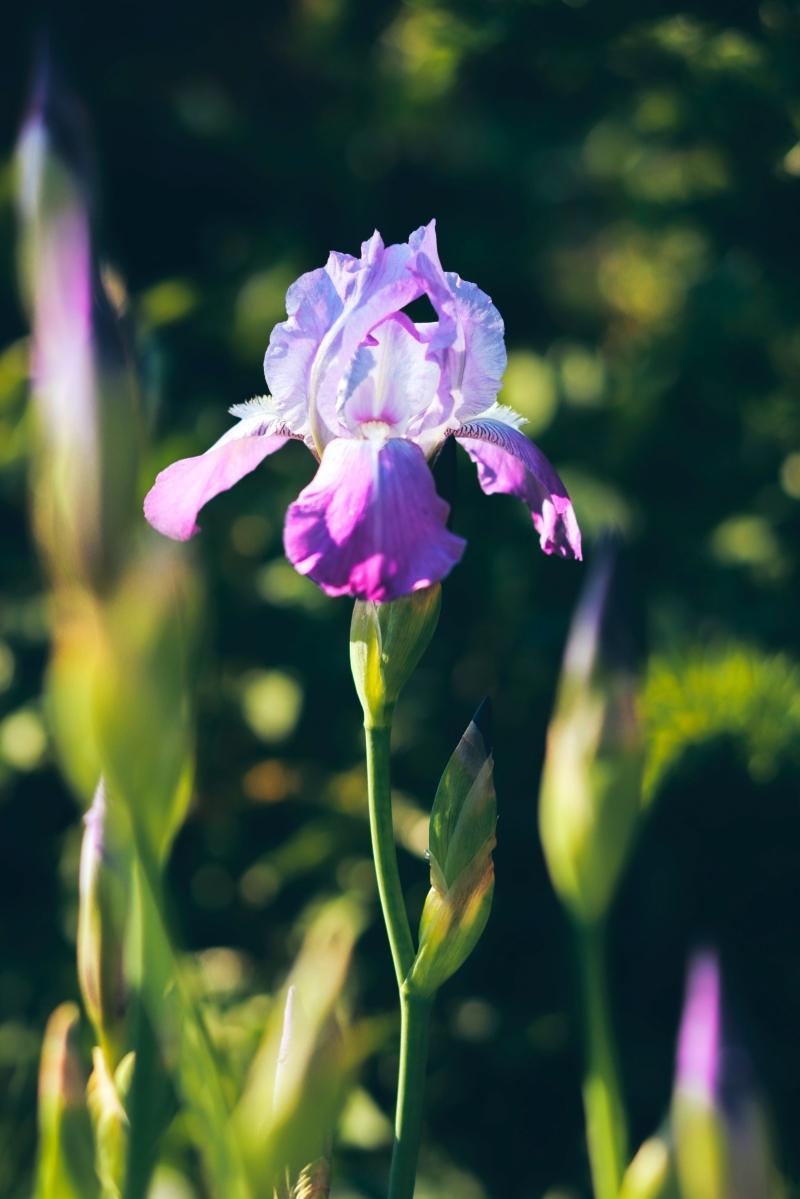 cultivation fleurs d été ou automne iris jardinage variétés plantes