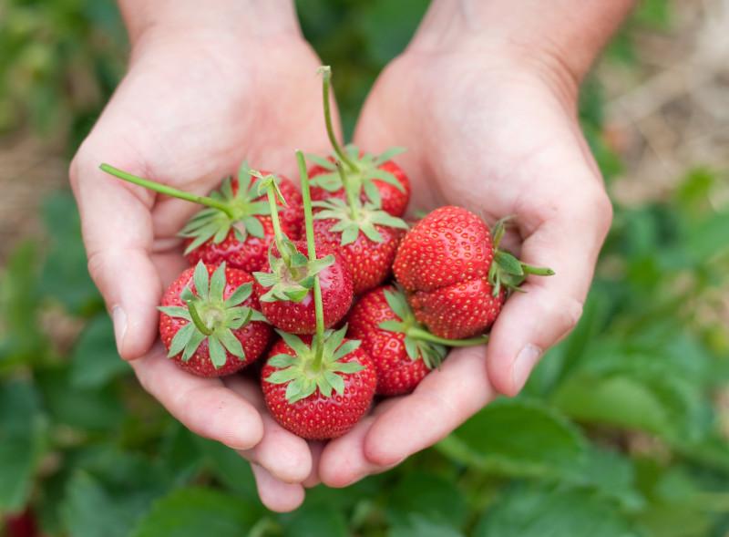 culture fraise comment l entretenrir et soigner pour avoir de bons fruits bio