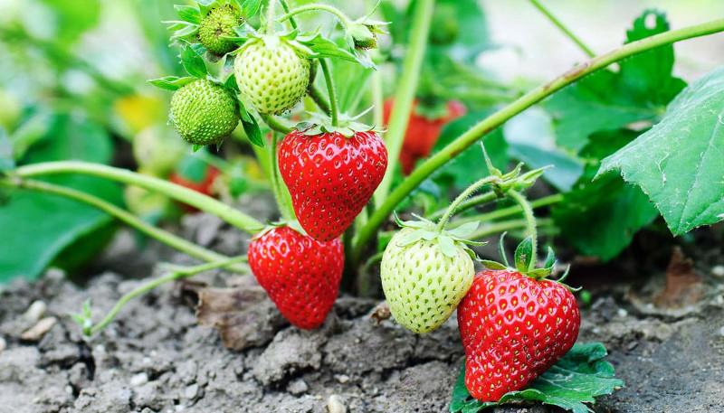 entretien des fraisiers plantés en pleine terre soins pour avoir de bons fruits