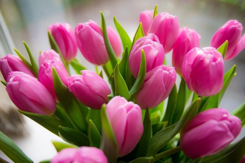 fleurs à bulbes vivaces bouquet de tulipes roses fond écran fleurs
