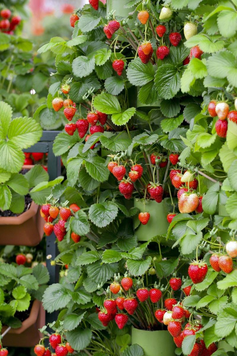 fraisier remontant planté en bacs à fleurs plante d extérieur