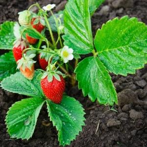 Planter des fraisiers - astuces et conseils pour avoir ses propres fruits bio