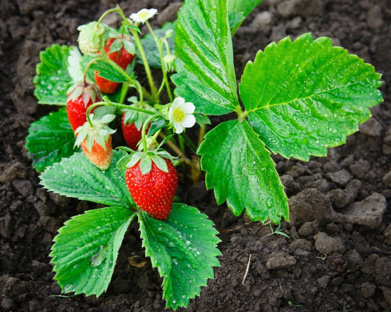 fraisier suspendu jardinière quels soins plantes d exterieur qui donnent des fruits