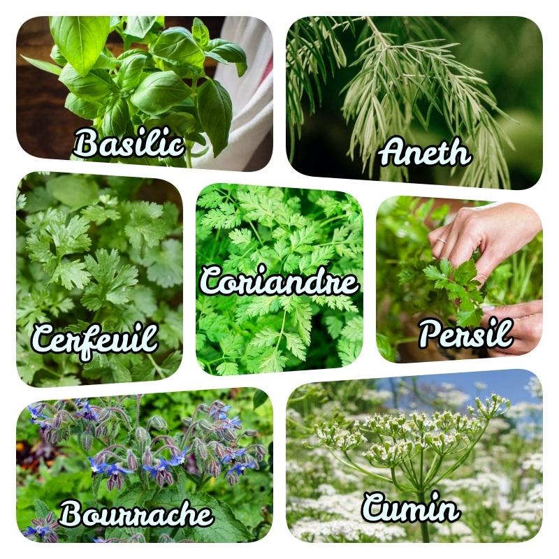 idée plantes aromatiques vivaces liste plantes aromatiques annuelles et bisannuelles