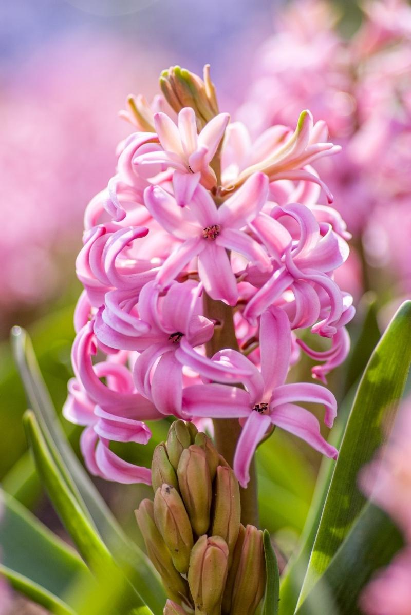 jacinthe rose fleurs automne à planter floraison printemps