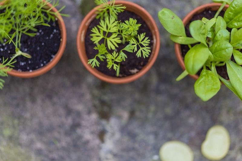 liste plantes aromatiques et medicinales planter en pot et carré potager