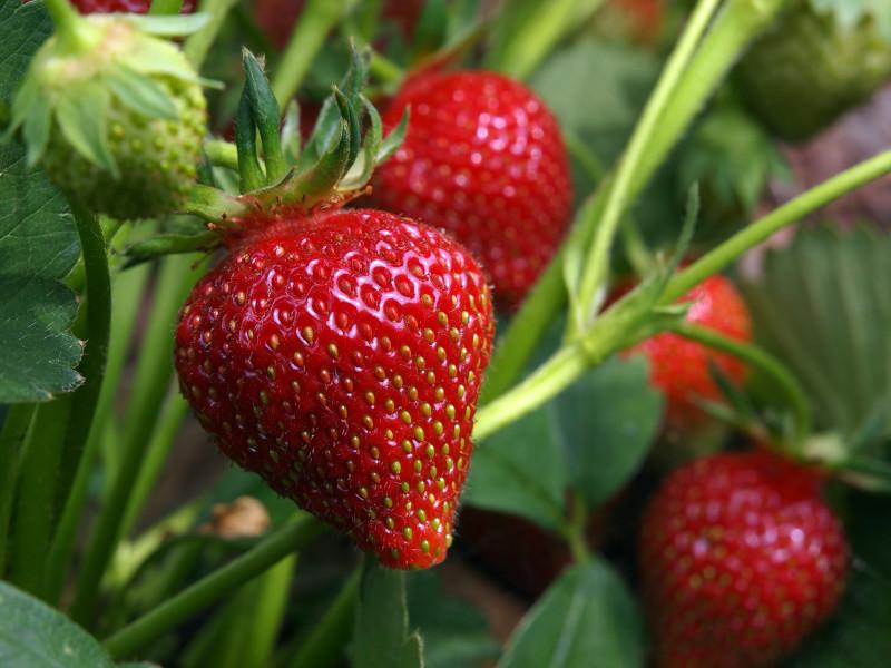 pieds de fraisiers de bons fruits prêts à être cueillis