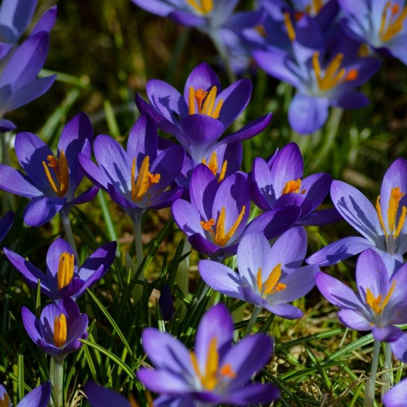 plantation bulbes d automne variété crocus violet jardin