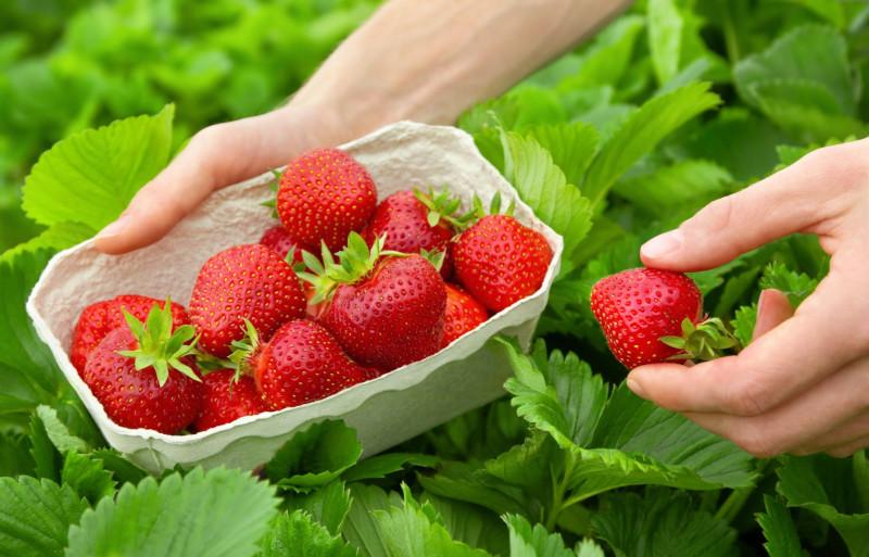 savoir quand cueillir les fraises
