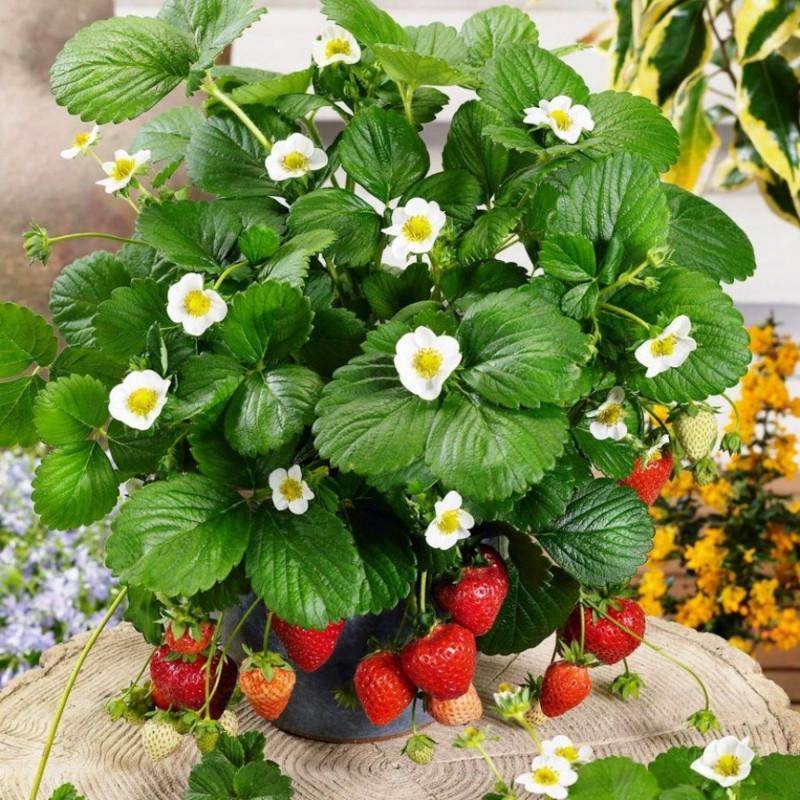entretien d'un fraisier en pot