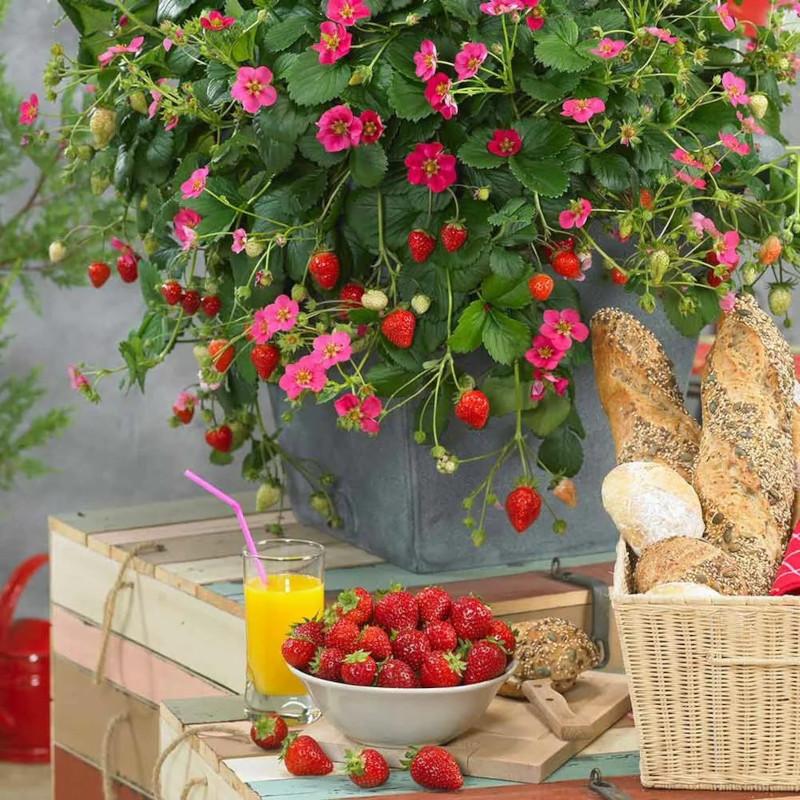 plantation fraisier en pot profiter des fruits qu on a dans le jardin