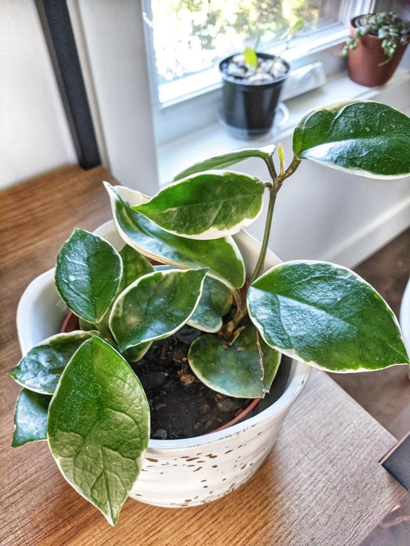 plante d intérieur exotique hoya dans un pot blanc sur le bureau près de la fenêtre
