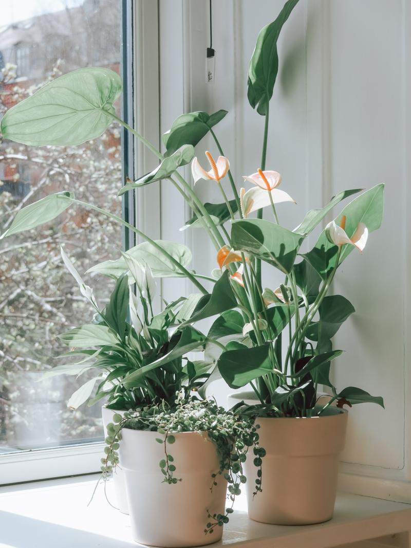 plante d intérieur fleurie fleur de lune dans un pot à côté de la fenêtre