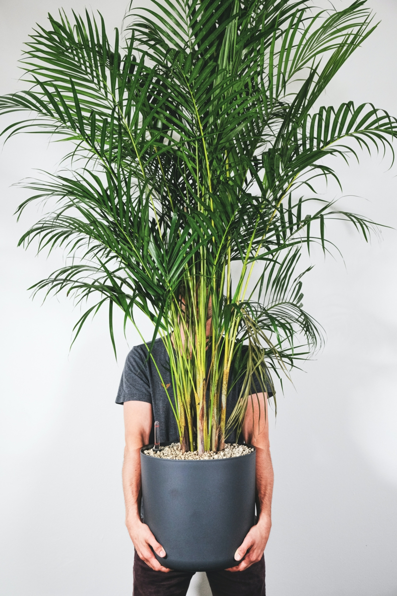 plante d intérieur haute un homme qui tient un palmier areca énorme