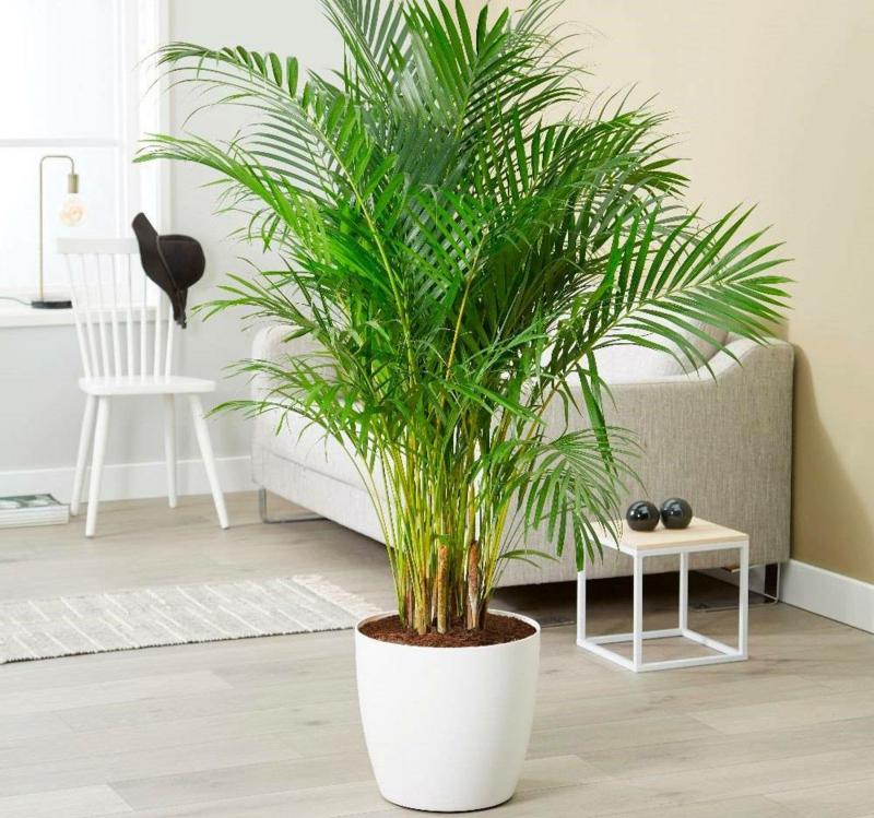 plante d intérieur ombre palmier areca dans l appartement style exotique