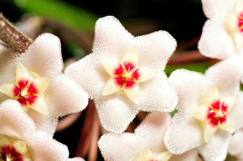 plante d intérieur originale fleurs blanches en forme d étoile de hoya