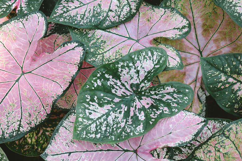 plante extérieur résistant au gel et au soleil les feuilles de caladium