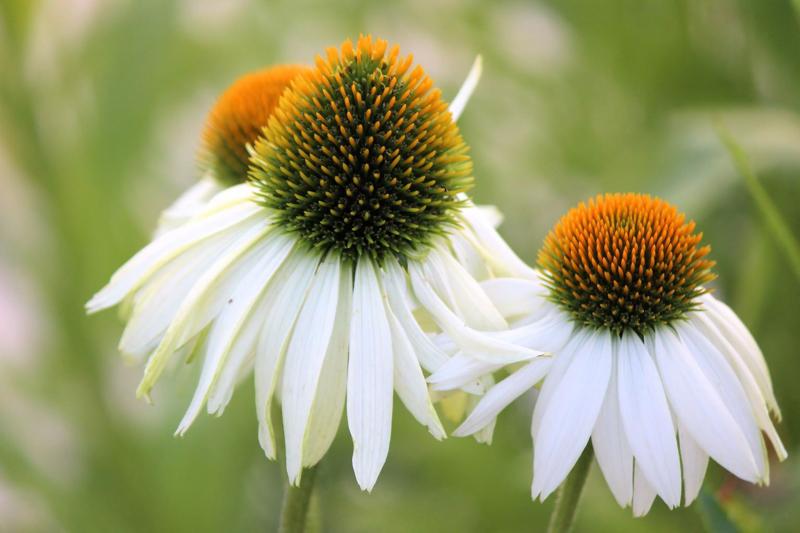 plante exterieur sans entretien corniflore fleurit en blanc