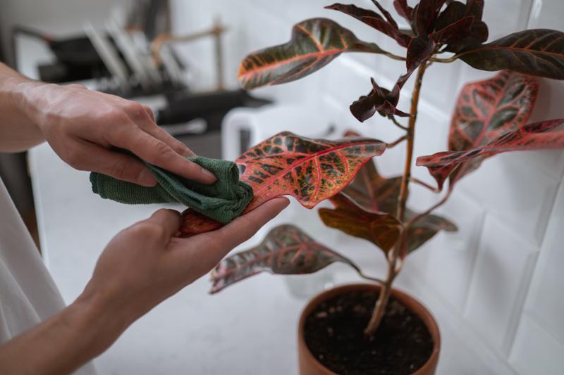 plante grasse extérieur un homme qui soigne un caladium en pot