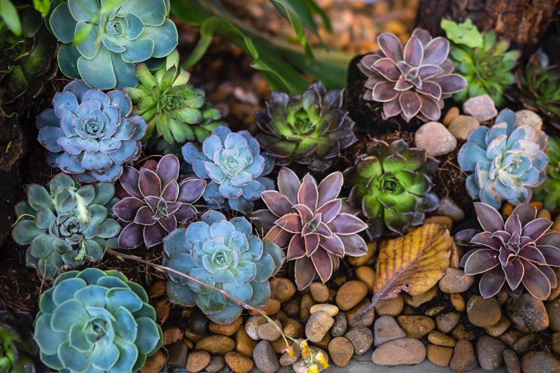 plante qui résiste au froid et à la chaleur succulantes en couleur différentes