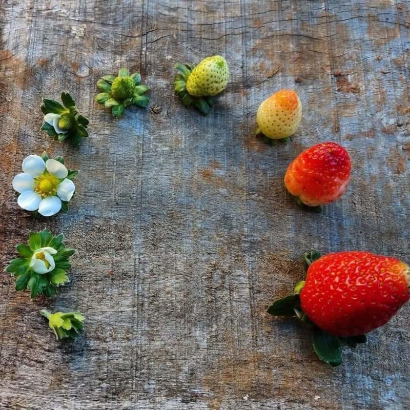 planter des fraisiers cycle de vie d une fraise quels soins pour une bonne plante