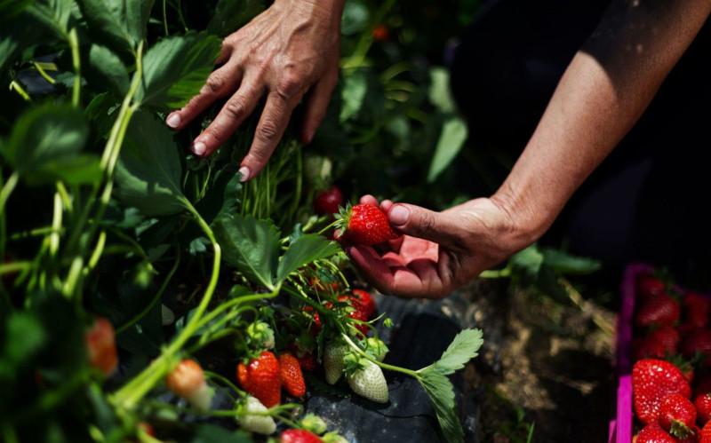 planter des fraisiers dans son jardin plante d extérieur cuillette