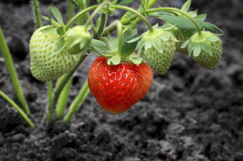 plantation des fraisiers en pleine terre