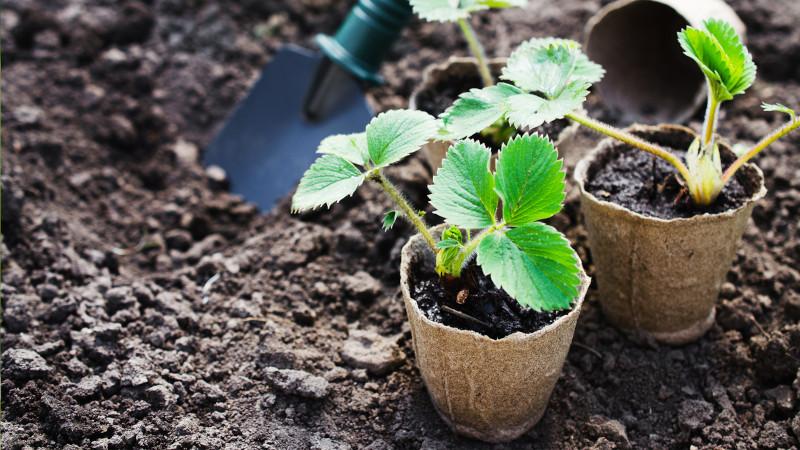 planter fraisier repiquer les plantes des pots en pleine terre