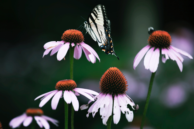 plantes d extérieur pour terrasse echencia fleur violete et un papillon