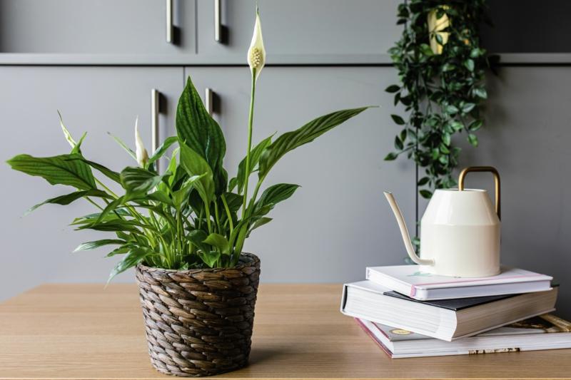 plantes d intérieur facile d entretien fleur de la lune dans sur un bureau