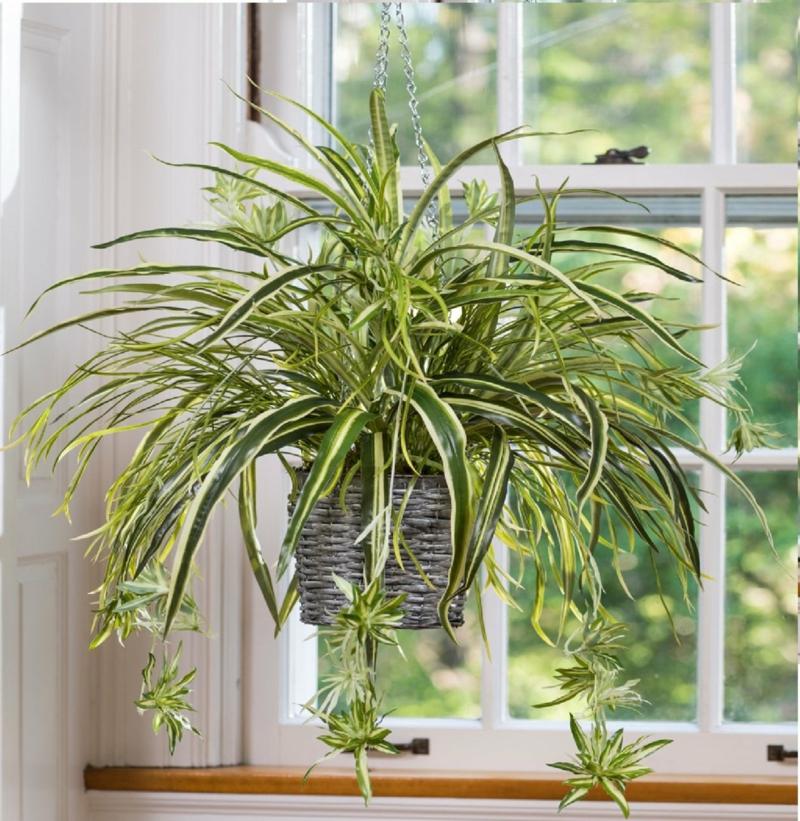 plantes d intérieur facile d entretien plante araignée dans un pot suspendu