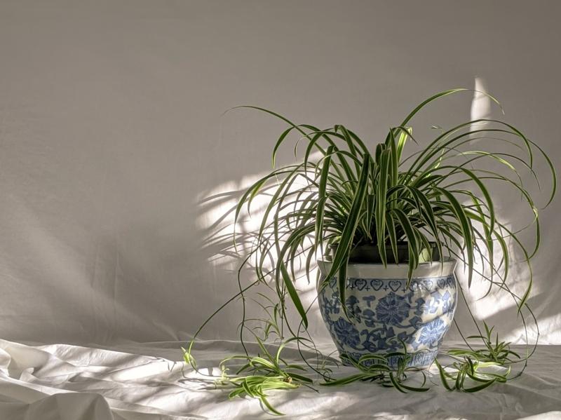 plantes d intérieur facile d entretien plante araignée dant un pot blanc et bleu
