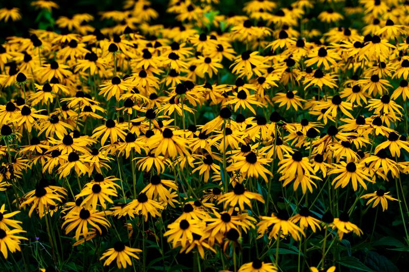 plantes plein soleil sans arrosage echincea fleurs jaunes sur la plaine