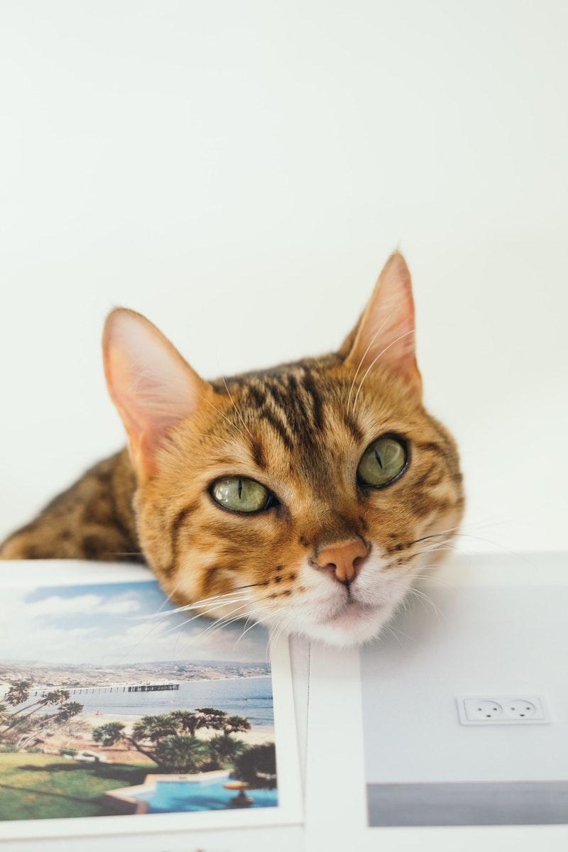 pourquoi les chats ronronnent demander notre attention photo chat roux mignon