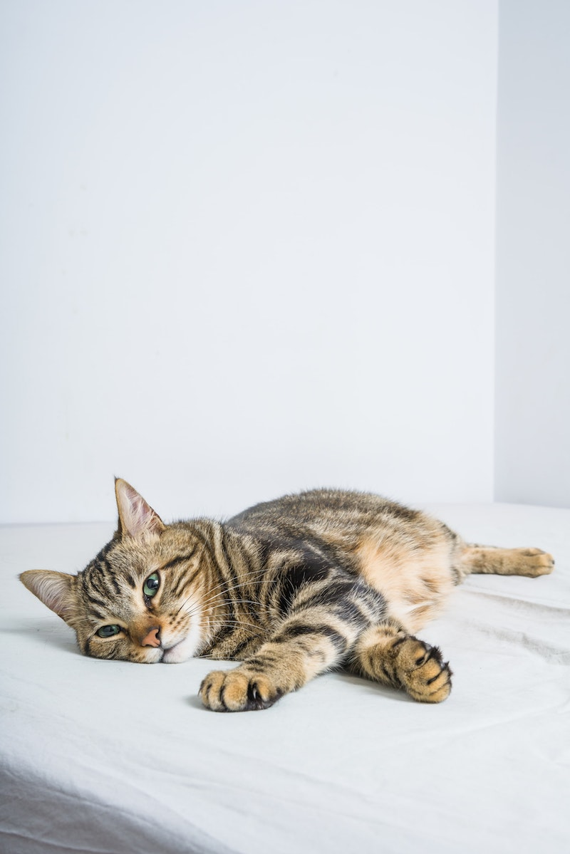 pourquoi les chats ronronnent pour soulager leurs propres douleurs