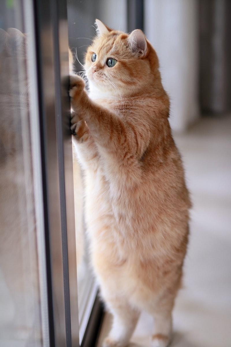 pourquoi mon chat ne ronronne pas chat qui regarde par la fenetre couleur roux