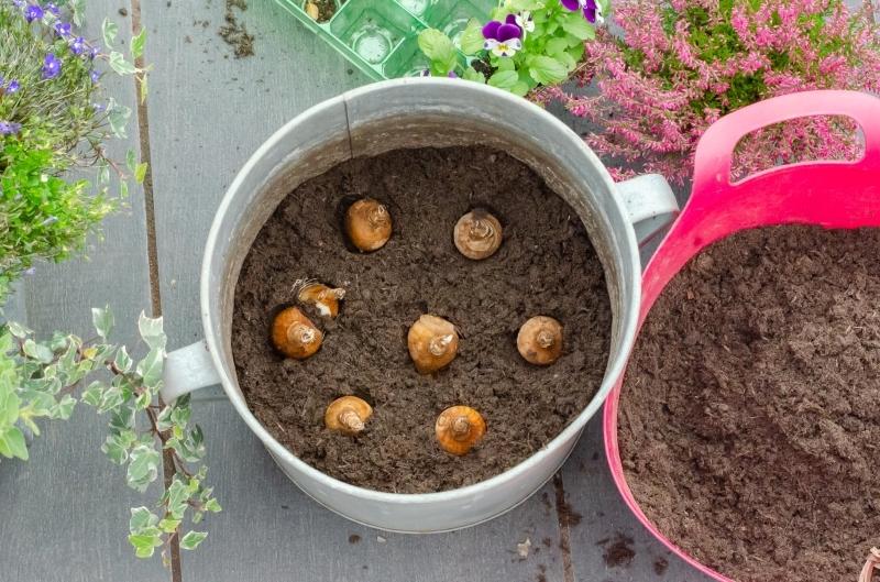 quand planter des bulbes conteneur mix terreau drainage